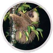 Two-toed Sloth Choloepus Didactylus Round Beach Towel