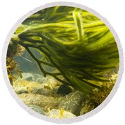 Underwater Shot Of Green Seaweed Attached To Rock Round Beach Towel