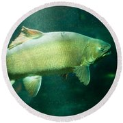 Underwater Shot Of Trophy Sized Tiger Trout Round Beach Towel