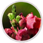 Variegated Snapdragon Round Beach Towel