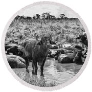 Water Buffaloes-black And White Round Beach Towel