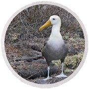 Waved Albatross Diomeda Irrorata Round Beach Towel
