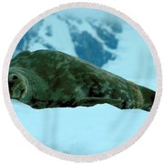 Weddell Seal Round Beach Towel