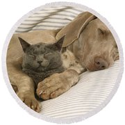 Weimaraner Asleep With Cat Round Beach Towel