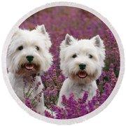 West Highland Terrier Dogs In Heather Round Beach Towel