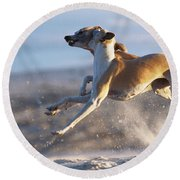Whippet Dogs Fighting Round Beach Towel