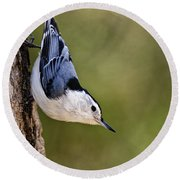 White-breasted Nuthatch Pictures 52 Round Beach Towel