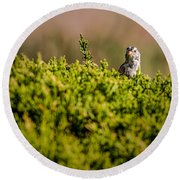White-crowned Sparrow In A Bush Round Beach Towel