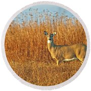 White Tailed Deer In Morning Light Round Beach Towel