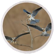 White-tailed Kite Young Round Beach Towel