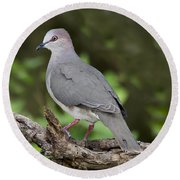 White-tipped Dove Round Beach Towel