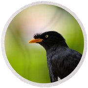White Vented Myna Bird With Feathers Standing Above Beak Round Beach Towel