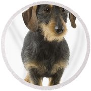 Wire-haired Dachshund Round Beach Towel