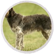 Wirehaired Pointing Griffon Round Beach Towel