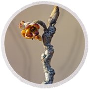 Witch Hazel Springtime Twig - Hamamelis Round Beach Towel