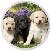 Yellow And Black Labrador Puppies Round Beach Towel