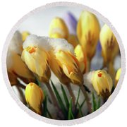 Yellow Crocuses In The Snow Round Beach Towel
