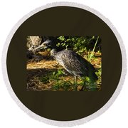 Yellow-crowned Night Heron Eating A Fiddler Crab Dinner Round Beach Towel