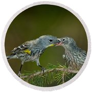 Yellow-rumped Warbler Feeding Young Round Beach Towel