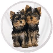 Yorkie Puppies Round Beach Towel