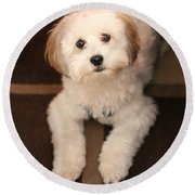 Yoshi Is One Today - Havanese Puppy Round Beach Towel