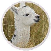 Young Alpaca Round Beach Towel