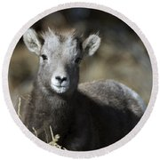 Young Bighorn Sheep Round Beach Towel