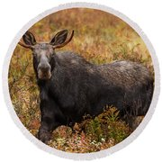 Young Bull Moose Being Aggressive Round Beach Towel