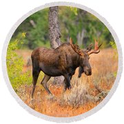 Young Bull Moose Round Beach Towel