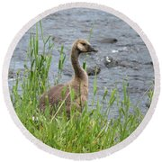 Young Canadian Goose Round Beach Towel