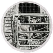 Young Cows In Pen Near Barn Maine Photograph Round Beach Towel