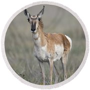 Young Doe Antelope Round Beach Towel