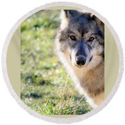 Young Gray Wolf In Light Round Beach Towel