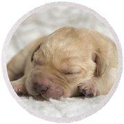 Young Labrador Puppy Round Beach Towel