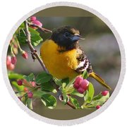 Young Male Oriole Round Beach Towel
