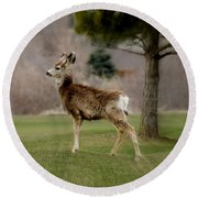 Young Mule Deer Round Beach Towel