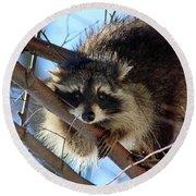 Young Raccoon In Birch Tree Round Beach Towel