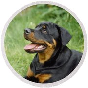 Young Rottweiler Round Beach Towel