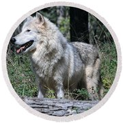 Young Wolf Round Beach Towel