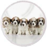 Zuchon Teddy Bear Puppy Dogs Round Beach Towel