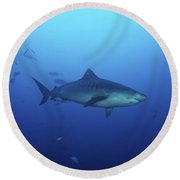 A Large 10 Foot Tiger Shark Swims Round Beach Towel