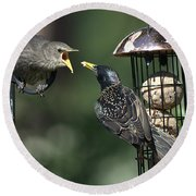 Adult Starling Feeds A Juvenile Round Beach Towel