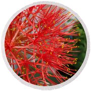 African Blood Lily Or Fireball Lily Round Beach Towel