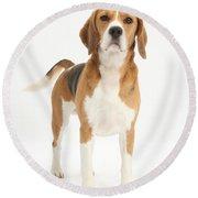 Beagle Dog Round Beach Towel