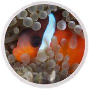 Cinnamon Clownfish In Its Host Anemone Round Beach Towel