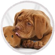 Dogue De Bordeaux Puppy With Red Guinea Round Beach Towel