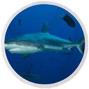 Gray Reef Shark, Kimbe Bay, Papua New Round Beach Towel
