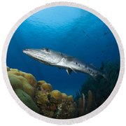 Great Barracuda, Belize Round Beach Towel