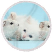 Guinea Pigs And Maine Coon-cross Kitten Round Beach Towel