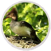 Immature Hooded Merganser Round Beach Towel